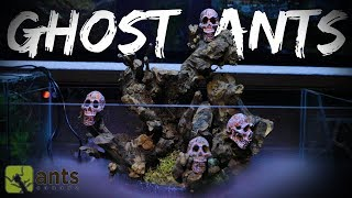 Download New SKULL ISLAND Ant Farm for Ghost Ants | Halloween Special Pt. 2 Video