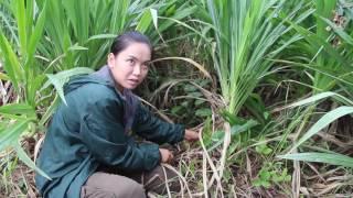Download 31 05 60 หญ้าหวาน Video