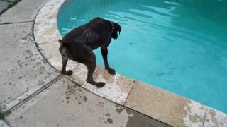 Download My GSP Molly - She didn't know that she could swim. Video