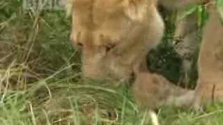 Download Lions vs buffalo - BBC wildlife Video