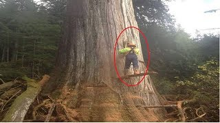 Download Dangerous Cutting Down Biggest Tree Chainsaw Machine Extreme Skill Fastest Tree Felling Compilation Video