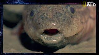 Download Le dipneuste, un poisson qui vit dans les murs Video