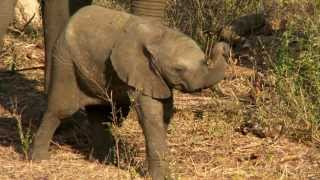 Download Saving Baby Elephant Mambo Video