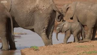 Download Elephants: Births Need To Exceed Deaths | This Wild Life | BBC Video