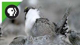 Download Sage-Grouse Mating Rituals in Groups Called Leks Video