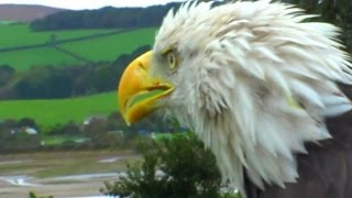 Download American Bald Eagle Close Up Video