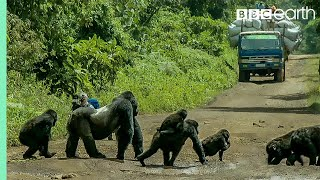 Download Silverback gorilla stops traffic to cross road | Gorilla Family and Me | BBC Earth Video