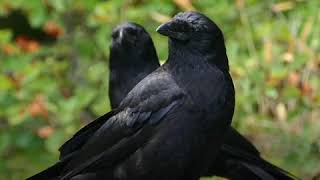 Download Crows are as smart as 7-year-old humans Video
