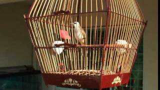 Download Yellow Vented Bulbul - Morning exercise Video