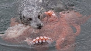 Download Incredible Fight! Harbour Seal vs Giant Pacific Octopus Video