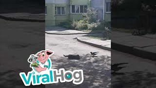 Download Courageous Crow Tries to Stop Feud Between Two Cats || Viralhog Video