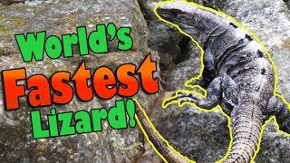 Download Meet the Black Spiny Tailed Iguana! Video