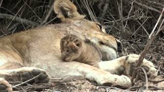 Download Two Good Lion Sightings at Mala Mala Camp Video