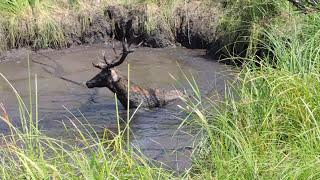Download 10/08/2015 -Akcja ratowania jeleni, koło łowieckie ″Łoś-Szczecin″ Video