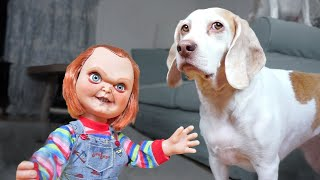 Download Dogs vs Lil' Big Chucky Prank: Funny Dogs Maymo, Penny & Potpie Video