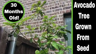 Download Avocado Tree Grown From Seed, 30 Month Update! Video