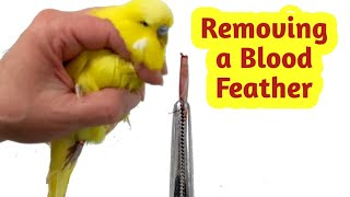 Download How to Remove a Broken Blood Feather Video