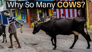 Download Why Are There So Many Cows in India? Video