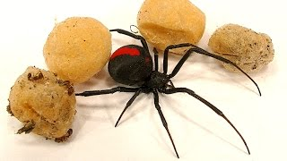 Download 4 Deadly Spider Egg Sacs Whats Inside Is Amazing & SCARY Video