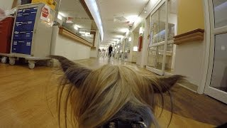 Download Therapy dog, Cheeto, wears GoPro & visits patients in Children's Hospital of Wisconsin Video