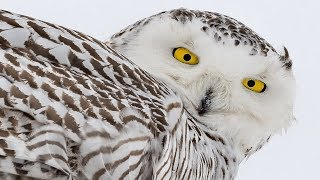 Download Nikon D850 Meets the Rare and Beautiful Snowy Owl - D500 - Nikkor 200-500 Video