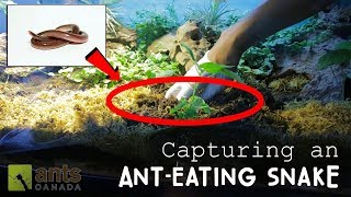 Download CAPTURING AN ANT-EATING SNAKE! Video