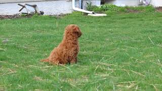 Download Mini Labradoodle Puppies For Sale Elmer Fisher Video