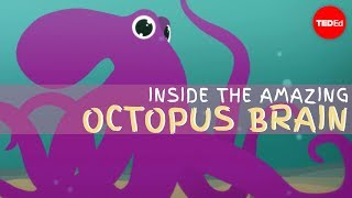 Download Why the octopus brain is so extraordinary - Cláudio L. Guerra Video