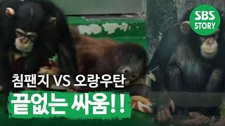 Download 침팬지 관순이 재등장, 오랑우탄 보남이와 '티격태격' @TV동물농장 140504 Video
