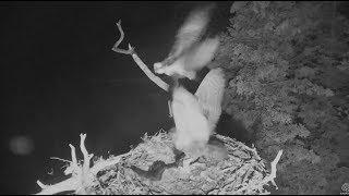 Download Audubon Hog Island Osprey Cam ~ Multiple Owl Attacks; Rachel Defends Bailey 7.21.17 Video