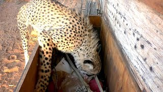Download Africa Cheetah Picks Out Own Toys As A Cub & Adult & Plays | Big Cat With A Fun Personality Video