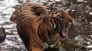 Download Tiger Close Encounter - Pacman, Ranthambore, India Video