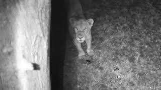 Download Djuma: Lion pride quinching their thirst at the pan - 20:35 - 08/09/18 Video
