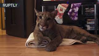 Download Puma in da house: Cougar named Messi 'adopted' by Russian couple Video
