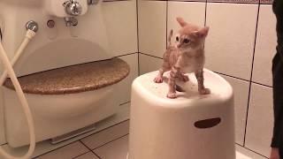Download 大人しくお風呂に入る子猫の鳴き声がかわいい  The kitten is taking a bath Video