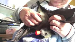 Download Tickling a baby bat: This is Pretzel Video