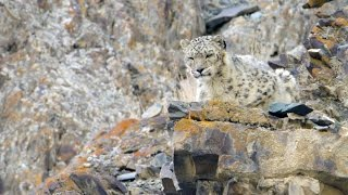 Download On Snow Leopard Mountain (15 min) - Planet Earth II - Behind The Scenes Video