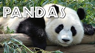 Download All About Pandas for Kids - FreeSchool Video