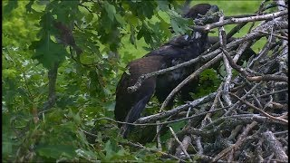 Download Decorah North Nest Eagle Cam ~ DN4 Hops Up To Nest; Looks For Nestovers 6.20.17 Video