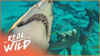 Download Sharks Business: Shark Action Like You've Never Seen Before! | The Blue Realm Video
