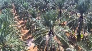 Download Date Farms of Saudi Arabia Video