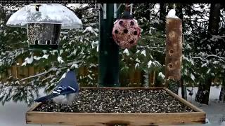 Download Blue and Gray Jays Swap Time at the Feeders – Dec. 5, 2016 Video