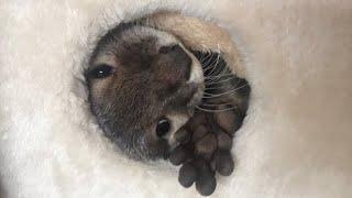 Download カワウソさくら タワーに巣を作り引きこもってしまったカワウソ Otter's nest Video