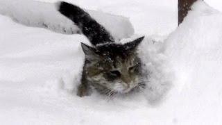 Download 大雪の中のネコ歩き 嬉しかったり泣きそうになった猫と雪 Video