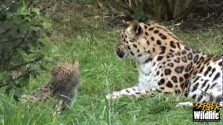 Download BCS - Amur Leopard Cubs 2012 - now at 6 weeks old Video