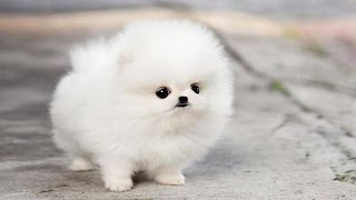 Download The Cutest Puppy in The World Video
