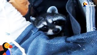 Download Raccoon Rescued From Deep Canyon Using a Backpack | The Dodo Video