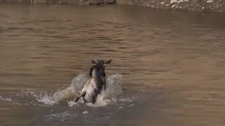 Download SafariLive July 18- Not the big wildebeest migration but the great escape! Video