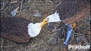 Download SWFL Eagles ~ M15 Feeds The Babies & Harriet too! 12.29.17 Video