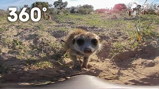 Download Funny meerkats playing in the desert 360 video | Animals with Cameras | Earth Unplugged Video